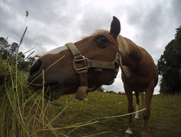 Cavall Escocès
